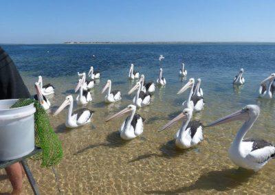 Venus Bay Pelicans
